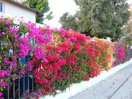 Bouganvillea colors