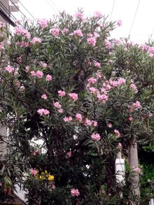 Oleander in Gávea