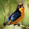 Euphonia violacea     Photo by Lindolfo Souto